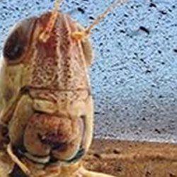 A Plague of Locusts.